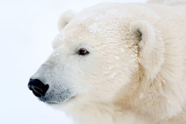 polar-bears-010