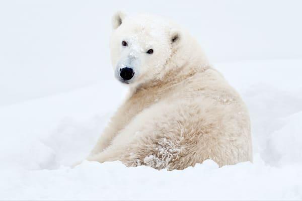 polar-bears-012