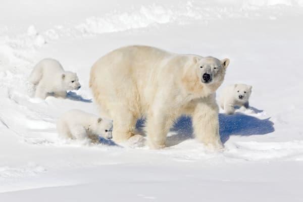 polar-bears-013