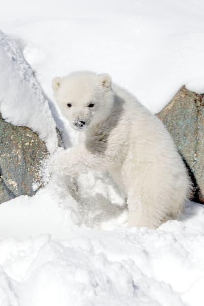 polar-bears-017
