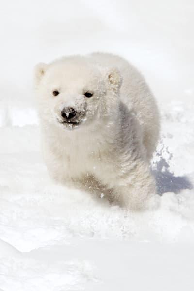 polar-bears-019