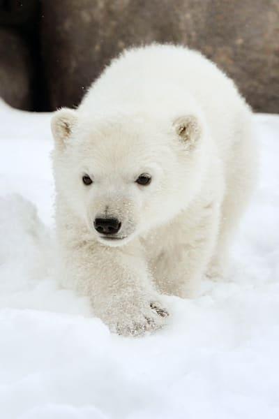 polar-bears-020