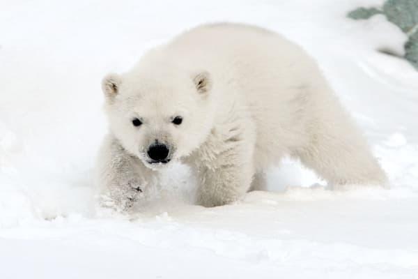 polar-bears-021