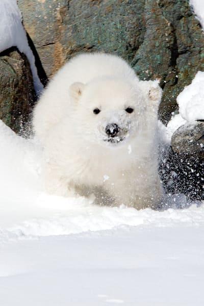 polar-bears-018