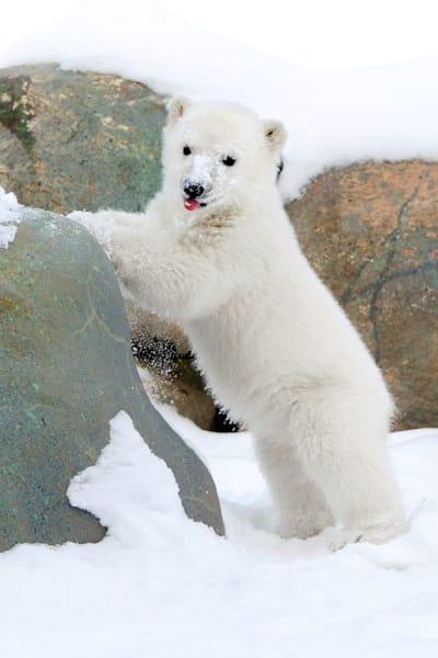polar-bears-022