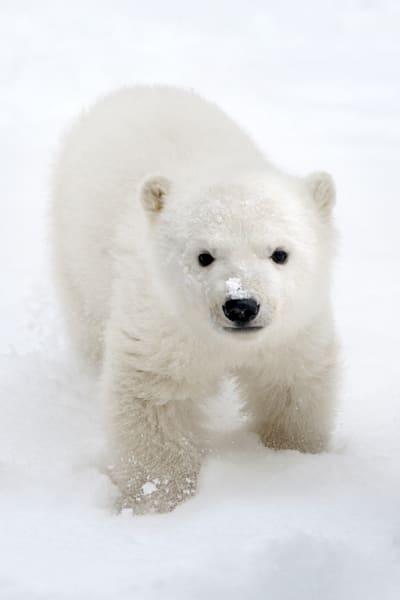 polar-bears-026