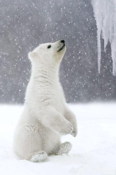 polar-bears-024