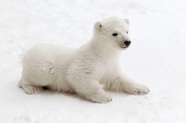 polar-bears-025