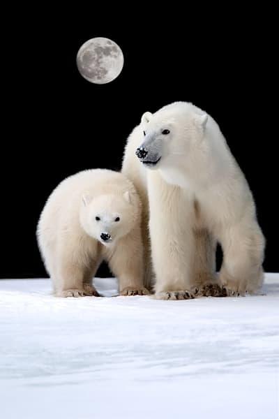 polar-bears-030