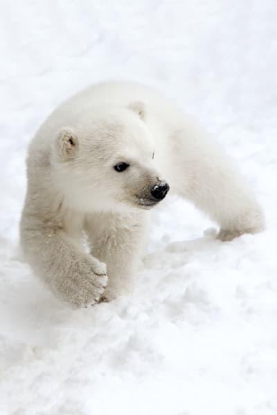 polar-bears-027