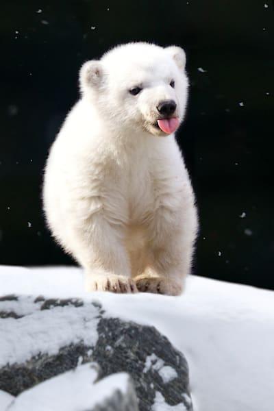 polar-bears-028