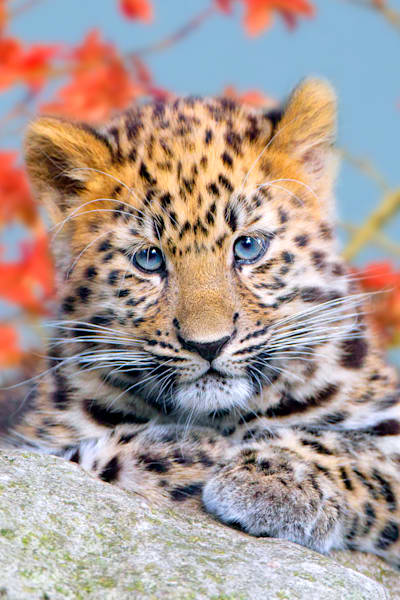 amur-leopards-005