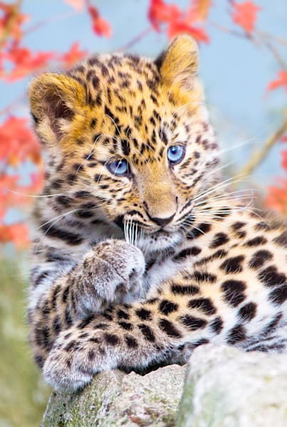 Amur Leopards 002 Photography Art | Cheng Yan Studio