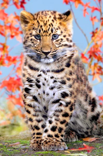 Amur Leopards 006 Photography Art | Cheng Yan Studio