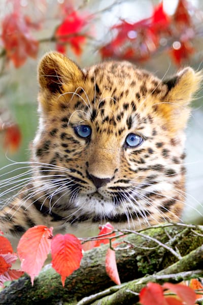 amur-leopards-003