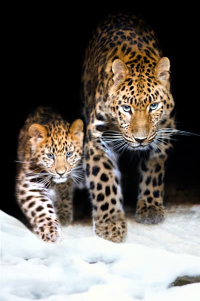 Amur Leopards 008 Photography Art | Cheng Yan Studio