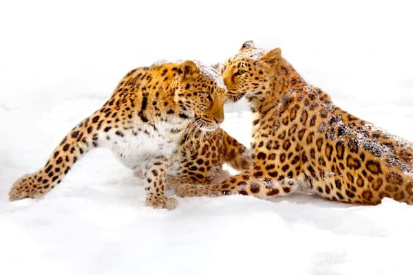 amur-leopards-009