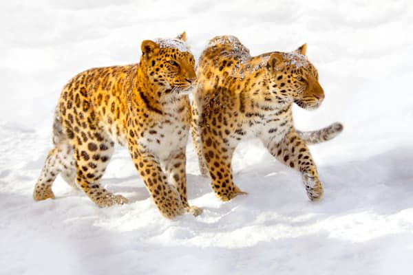 amur-leopards-010