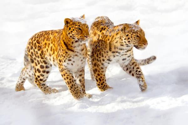 Amur Leopards 010 Photography Art | Cheng Yan Studio