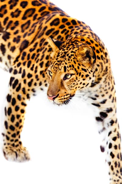 Amur Leopards 011 Photography Art | Cheng Yan Studio