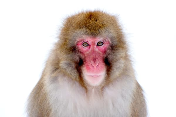 Japanese Macaques 001 Photography Art | Cheng Yan Studio