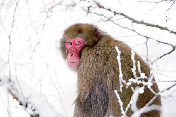 Japanese Macaques 002 Photography Art | Cheng Yan Studio