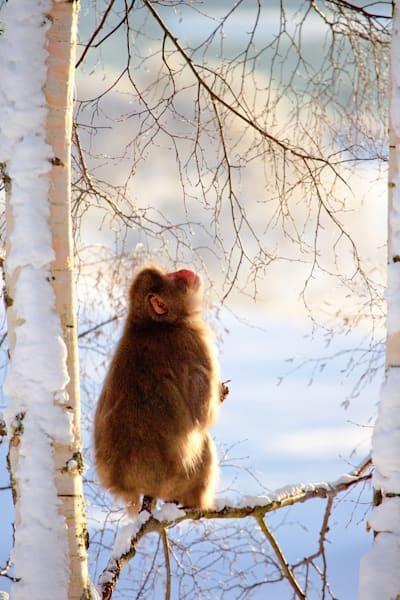 Japanese Macaques 008 Photography Art   Cheng Yan Studio