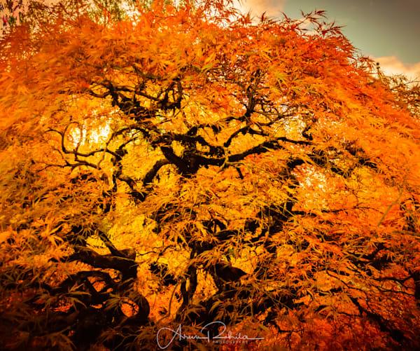 Japanese Maple glowing