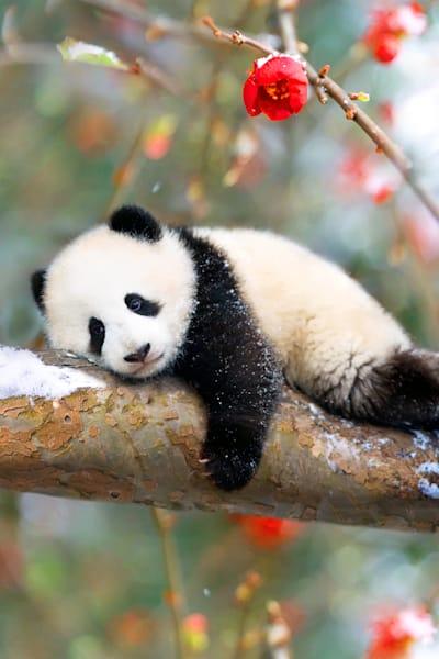 Pandas 005 Photography Art | Cheng Yan Studio