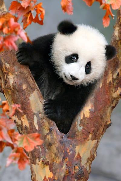 Pandas 006 Photography Art | Cheng Yan Studio