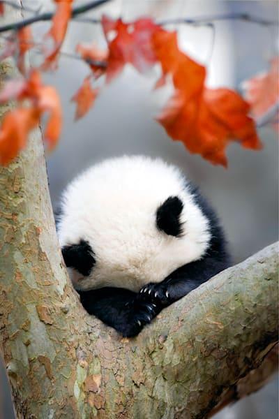 Pandas 002 Photography Art | Cheng Yan Studio