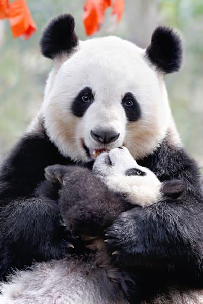 Pandas 007 Photography Art | Cheng Yan Studio