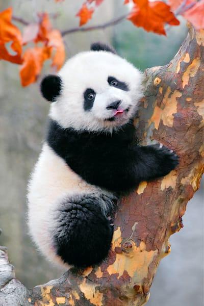Pandas 004 Photography Art | Cheng Yan Studio