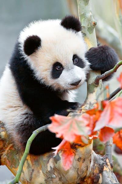 Pandas 008 Photography Art | Cheng Yan Studio