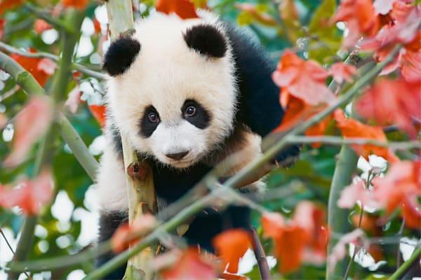 Pandas 010 Photography Art | Cheng Yan Studio