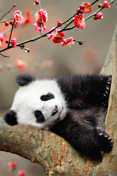 Pandas 009 Photography Art | Cheng Yan Studio