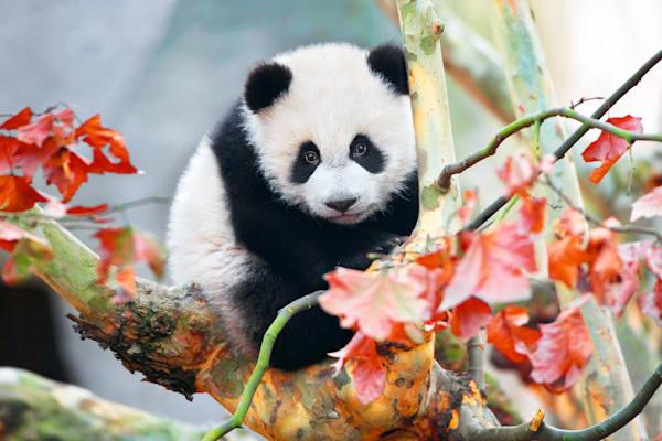 Pandas 012 Photography Art | Cheng Yan Studio