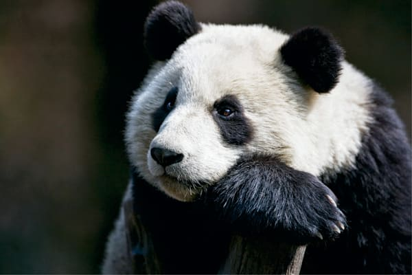 Pandas 011 Photography Art | Cheng Yan Studio