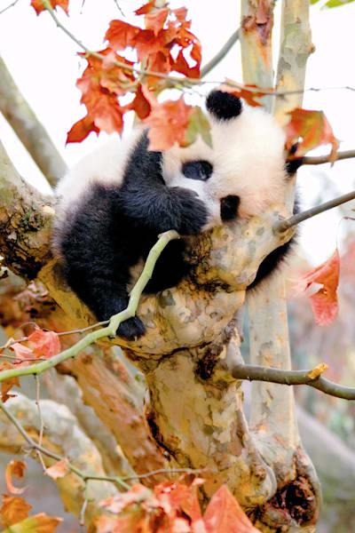 Pandas 016 Photography Art | Cheng Yan Studio