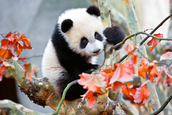 Pandas 013 Photography Art | Cheng Yan Studio