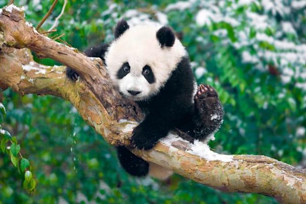 Pandas 017 Photography Art | Cheng Yan Studio