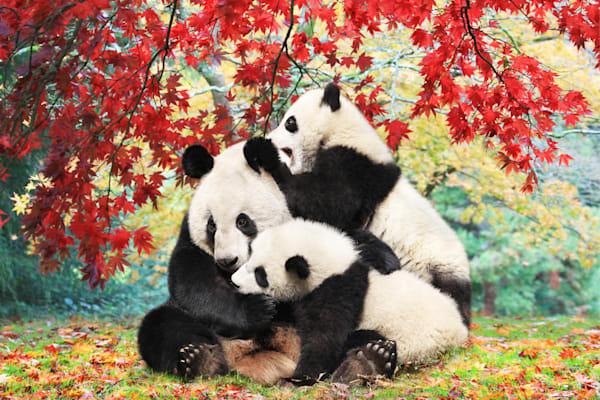 Pandas 014 Photography Art | Cheng Yan Studio