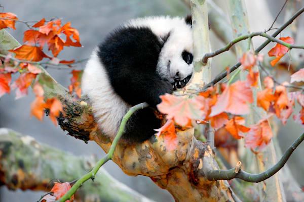 Pandas 018 Photography Art | Cheng Yan Studio