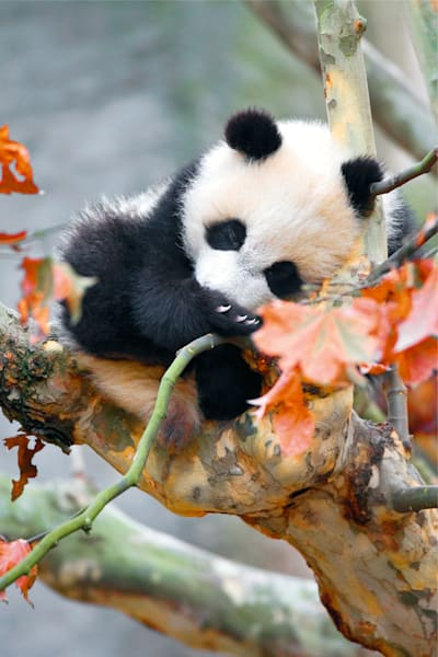 Pandas 021 Photography Art | Cheng Yan Studio