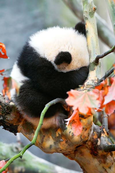 Pandas 020 Photography Art | Cheng Yan Studio