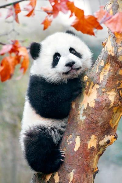 Pandas 026 Photography Art | Cheng Yan Studio
