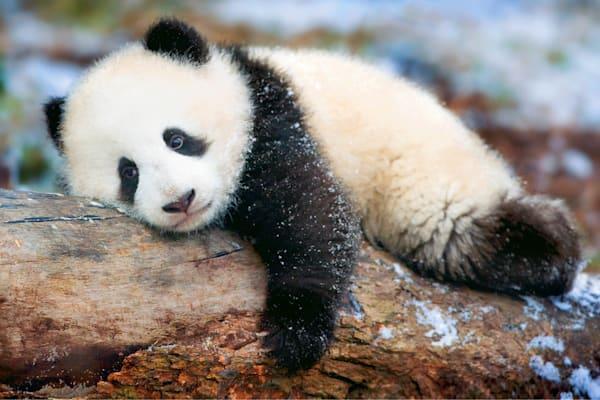 Pandas 038 Photography Art | Cheng Yan Studio