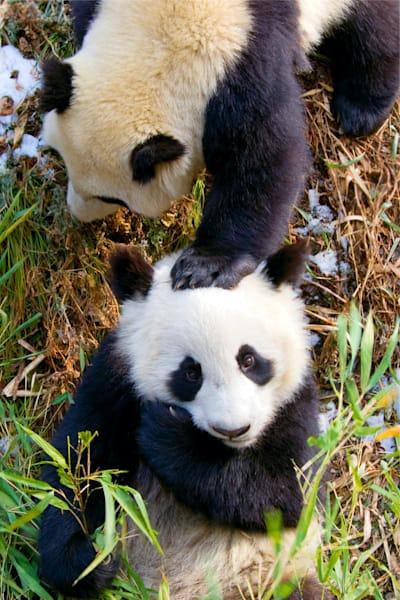 Pandas 036 Photography Art | Cheng Yan Studio
