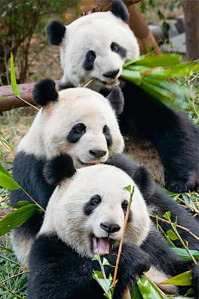 Pandas 037 Photography Art | Cheng Yan Studio