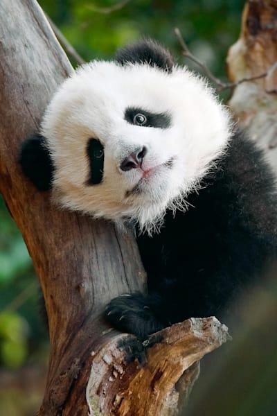 Pandas 039 Photography Art | Cheng Yan Studio